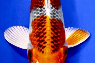 kujaku koi unique koi in Butterfly