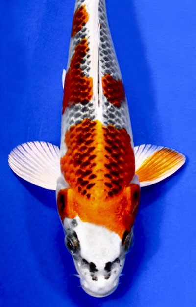 Related keywords suggestions for koi japanese for sale for Japanese koi wholesale