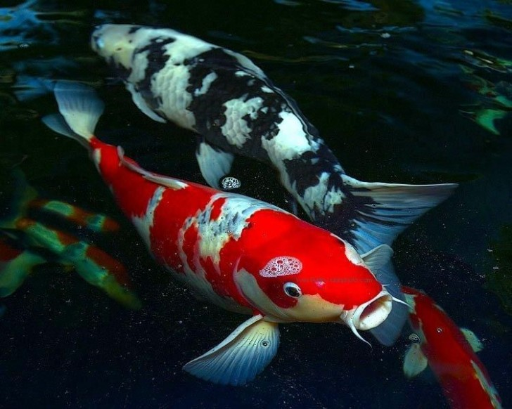 pisces , 8 Nice Prices For Koi Fish : Lake Fish Japanese