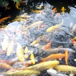 landscape design , 7 Fabulous Koi Fish Ponds Made Easy In pisces Category