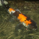 large koi fish , 8 Amazing Giant Koi Fish For Sale In pisces Category