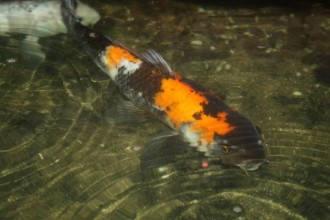 large koi fish in pisces