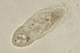 Paramecium Picture , 8 Paramecium Images In Cell Category