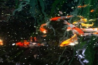 Pond Fish Koi , 6 Fabulous Koi Fish Ponds For Sale In pisces Category