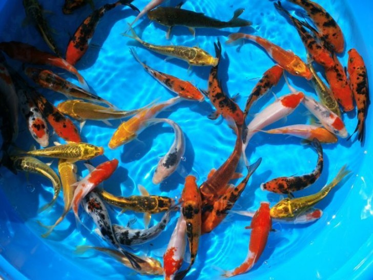 pisces , 8 Nice Koi Fish Wholesale : Premium Koi Fish