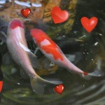 romantic fish , 8 Cool Breeding Koi Fish In pisces Category