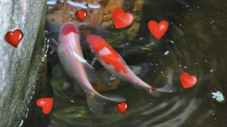 pisces , 8 Cool Breeding Koi Fish : Romantic Fish