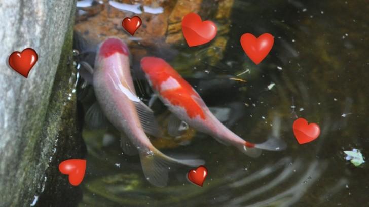 pisces , 8 Cool Breeding Koi Fish : Romantic Fish