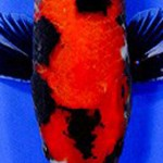 showa showa koi , 8 Beautiful Koi Fish Pond For Sale In pisces Category
