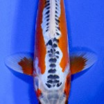 shusui scaleless koi , 6 Fabulous Koi Fish Ponds For Sale In pisces Category