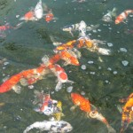 sml koi ogon , 8 Beautiful Koi Fish Breeders In pisces Category