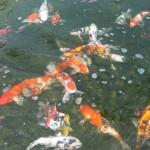 sml koi ogon , 8 Beautiful Koi Fish Breeders In pisces Category