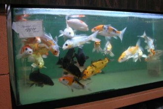 The Best Koi Fish , 8 Wonderful Koi Fish Tanks In pisces Category
