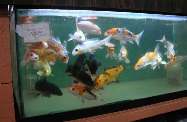 The best koi fish 8 wonderful koi fish tanks for Small coy fish