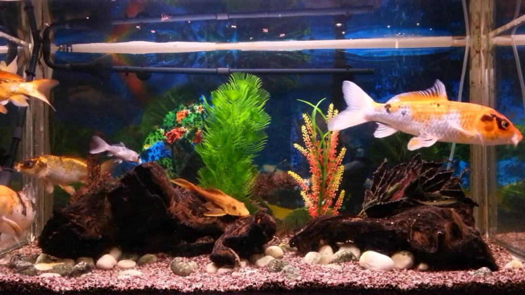 Tropical fish 8 wonderful koi fish tanks biological for Exotic koi fish
