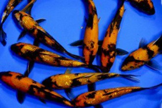 Ustsuri Black And Orange Koi , 6 Fabulous Koi Fish Ponds For Sale In pisces Category