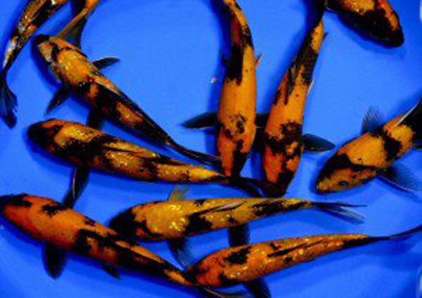 pisces , 8 Beautiful Koi Fish Pond For Sale : Ustsuri Black And Orange Koi