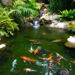 wallpaper koi fish , 7 Nice Koi Fish Pond Supplies In pisces Category