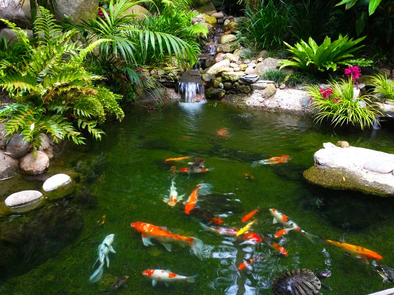 Wallpaper Koi Fish 7 Nice Koi Fish Pond Supplies