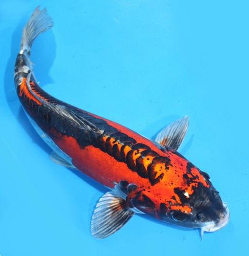 Kikokuryu koi 7 fabulous koi fish sculpture biological for Carpa koi butterfly