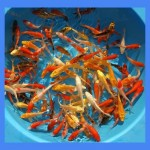 KOi Fish Sale , 5 Stunning Koi Fish For Miami In pisces Category