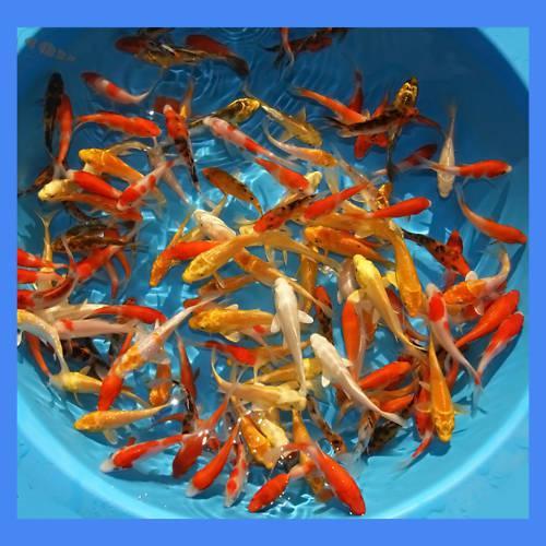 pisces , 5 Stunning Koi Fish For Miami : KOi Fish Sale