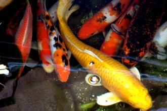 Koi Carp Fishes in Dog