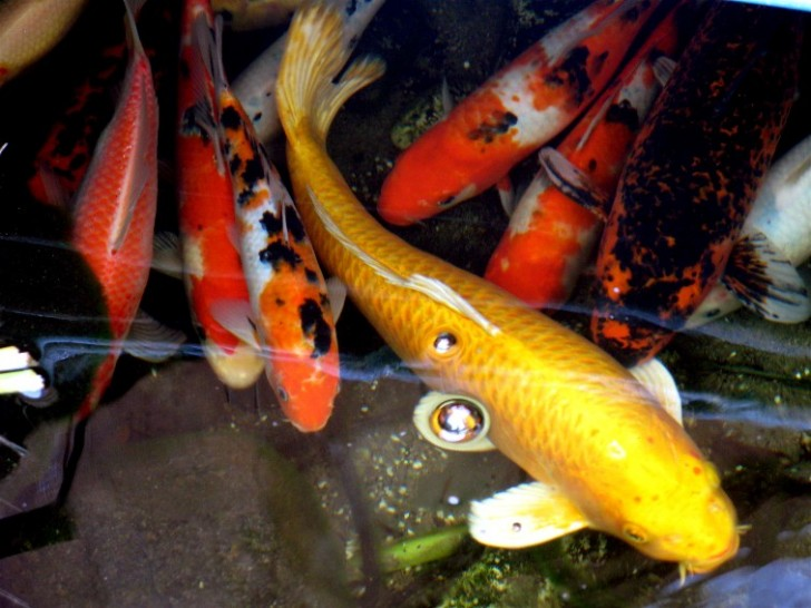 pisces , 6 Good How Much Are Japanese Koi Fish : Koi Carp Fishes