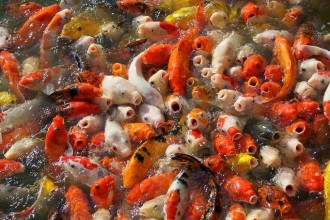 Koi Fish Feeding Frenzy , 8 Charming Koi Fish Feeding In pisces Category