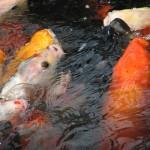 Koi fish feeding , 8 Charming Koi Fish Feeding In pisces Category