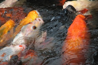 Koi Fish Feeding , 8 Charming Koi Fish Feeding In pisces Category