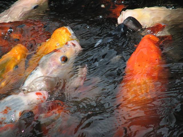 pisces , 8 Charming Koi Fish Feeding : Koi Fish Feeding