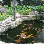 Michigan Koi , 6 Nice Koi Fish Pond Kits In pisces Category