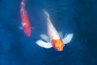 Big Koi Fish , 7 Fabulous Koi Fish Sculpture In pisces Category