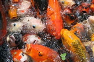 Butterfly Koi , 8 Charming Koi Fish Feeding In pisces Category