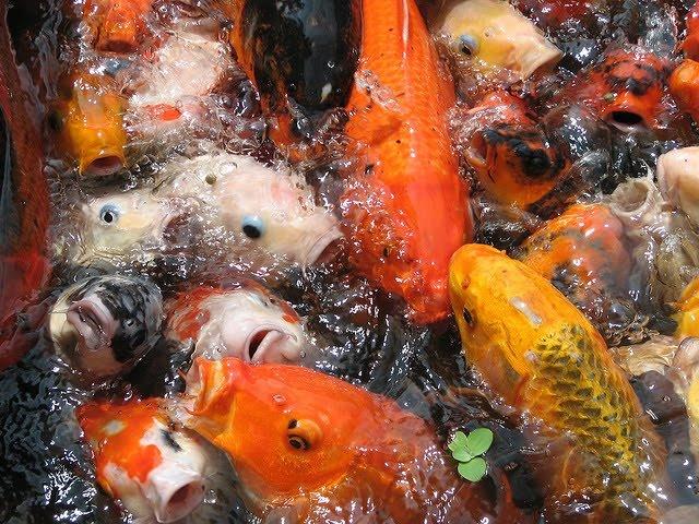 pisces , 8 Charming Koi Fish Feeding :  Butterfly Koi