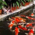 feeding the koi fish , 8 Charming Koi Fish Feeding In pisces Category