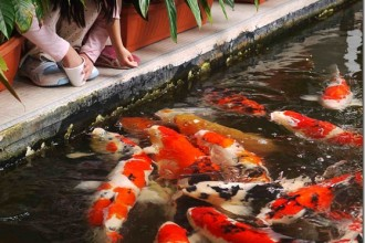 feeding the koi fish in Birds