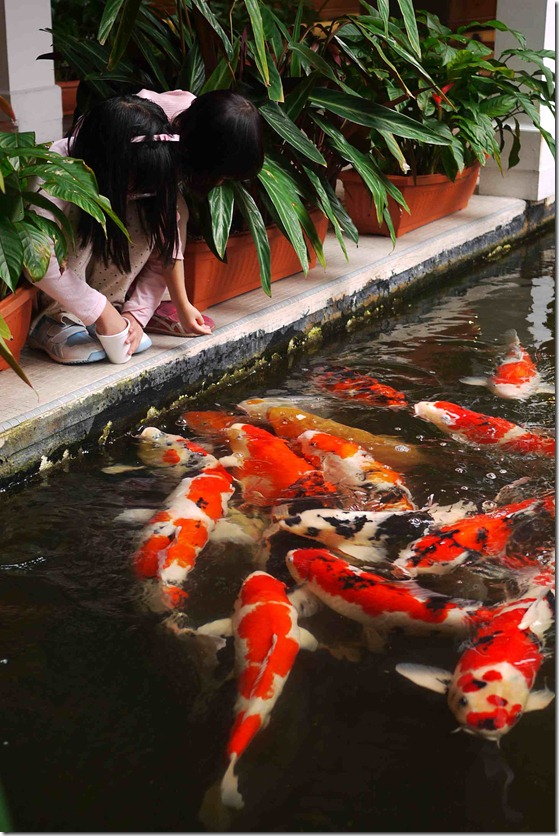 pisces , 8 Charming Koi Fish Feeding : Feeding The Koi Fish