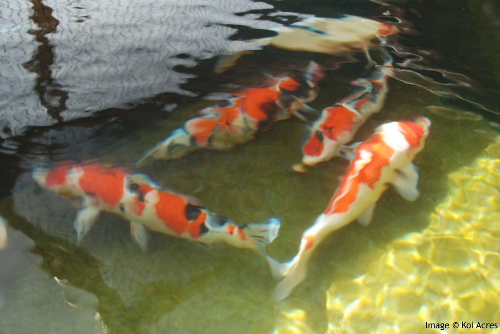 Fish pond design 6 nice koi fish pond kits biological for Koi fish net