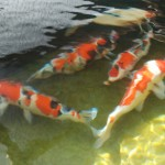fish pond design , 6 Nice Koi Fish Pond Kits In pisces Category