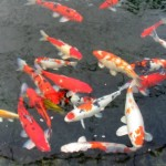 goldfish koi small , 6 Nice Koi Fish Pond Kits In pisces Category