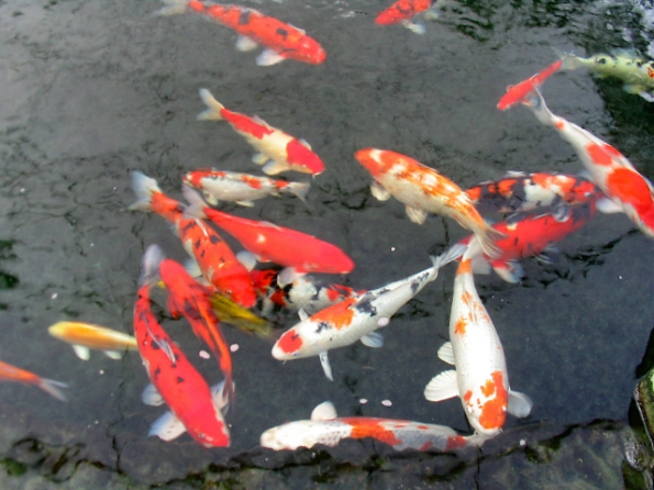 pisces , 6 Nice Koi Fish Pond Kits : Goldfish Koi Small