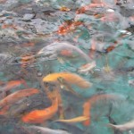 japanese koi fish , 6 Nice Koi Fish Pond Kits In pisces Category