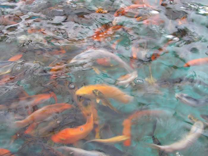 pisces , 6 Nice Koi Fish Pond Kits :  Japanese Koi Fish