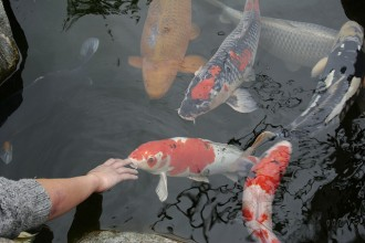 pisces , 8 Charming Koi Fish Feeding :  japanese koi fish
