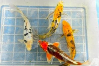 Koi Fish For Sale , 5 Stunning Koi Fish For Miami In pisces Category