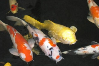 koi fish pond japanese in Birds