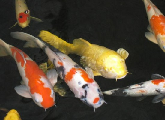 6 good how much are japanese koi fish in pisces On how much is a koi fish