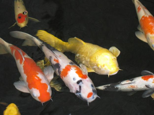 pisces , 6 Good How Much Are Japanese Koi Fish : Koi Fish Pond Japanese